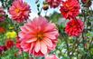 Dalia: rośliny miododajne