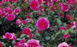 Ogród różano-bylinowy. Sadzenie i pielęgnacja róż ogrodowych ZDJĘCIA