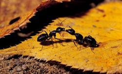 Mrówki w domu i w ogrodzie. Poznaj sposób na mrówki