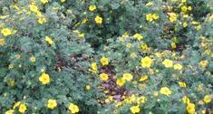 Pięciornik krzewiasty (Potentilla fruticosa). Uprawa i pielęgnacja pięciornika