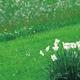 Na trawniku posadź rośliny cebulowe. Sadzenie krokusów, szafirków i narcyzów na trawniku